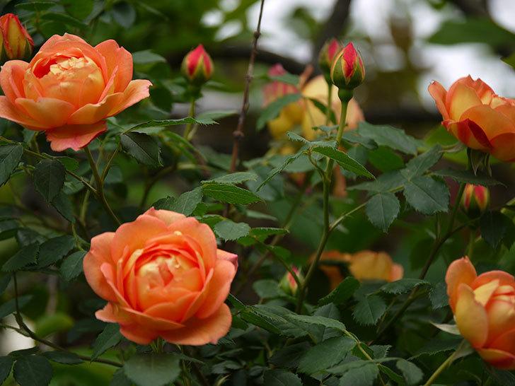 レディ・オブ・シャーロット(ツルバラ)の花が一気に増えた。2017年-13.jpg