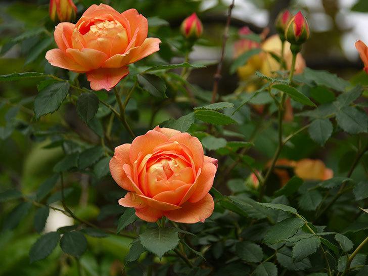 レディ・オブ・シャーロット(ツルバラ)の花が一気に増えた。2017年-15.jpg