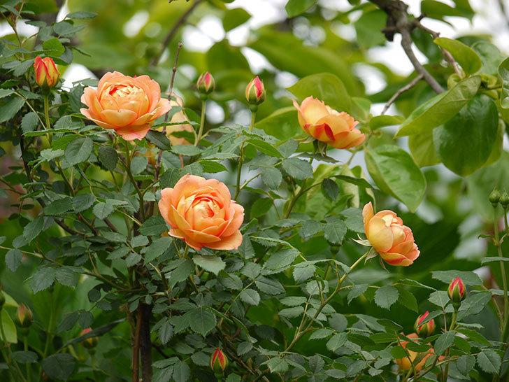 レディ・オブ・シャーロット(ツルバラ)の花が一気に増えた。2017年-16.jpg