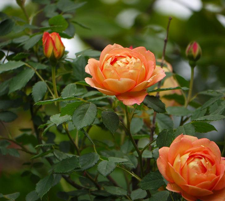 レディ・オブ・シャーロット(ツルバラ)の花が一気に増えた。2017年-17.jpg