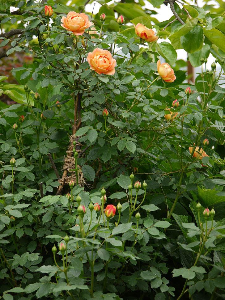 レディ・オブ・シャーロット(ツルバラ)の花が一気に増えた。2017年-18.jpg