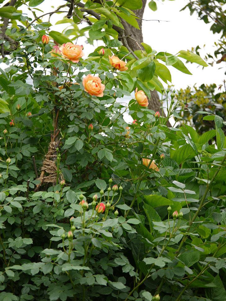 レディ・オブ・シャーロット(ツルバラ)の花が一気に増えた。2017年-19.jpg