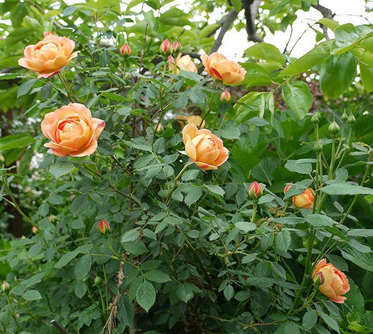 レディ・オブ・シャーロット(ツルバラ)の花が一気に増えた。2017年-2.jpg