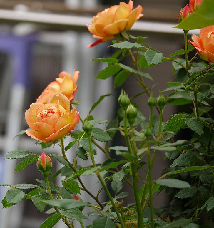 レディ・オブ・シャーロット(ツルバラ)の花が一気に増えた。2017年-22.jpg
