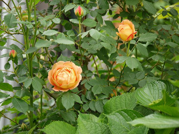 レディ・オブ・シャーロット(ツルバラ)の花が一気に増えた。2017年-23.jpg
