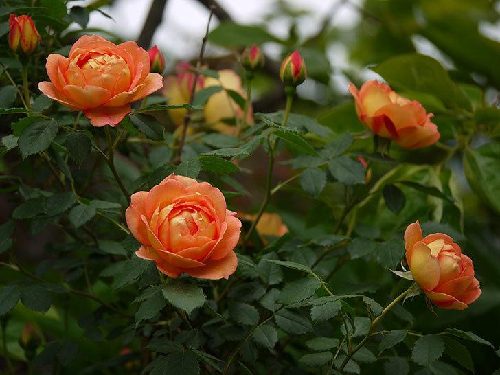 レディ・オブ・シャーロット(ツルバラ)の花が一気に増えた。2017年-24.jpg