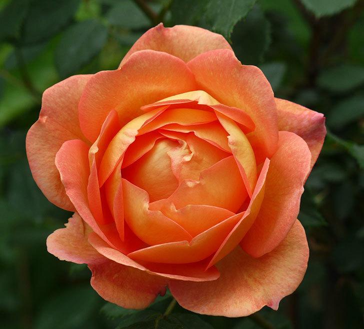 レディ・オブ・シャーロット(ツルバラ)の花が一気に増えた。2017年-3.jpg
