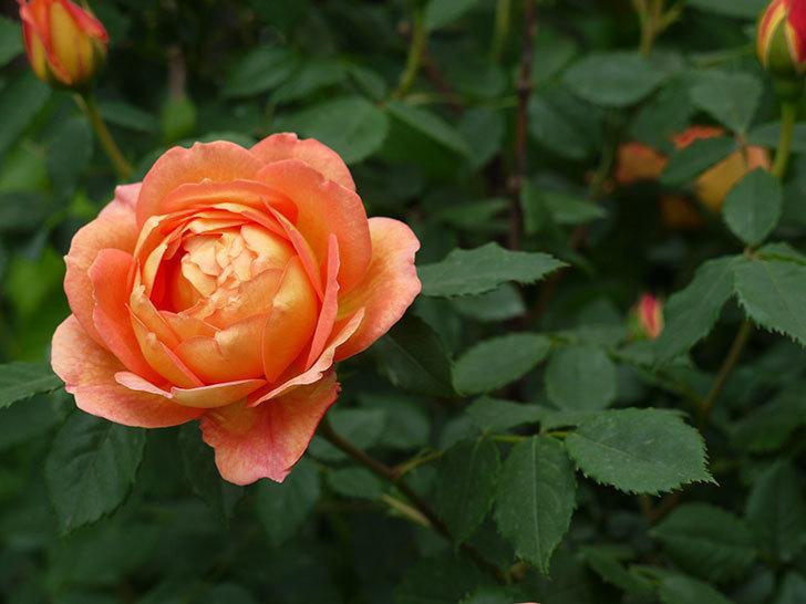 レディ・オブ・シャーロット(ツルバラ)の花が一気に増えた。2017年-4.jpg