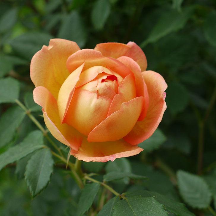 レディ・オブ・シャーロット(ツルバラ)の花が一気に増えた。2017年-6.jpg