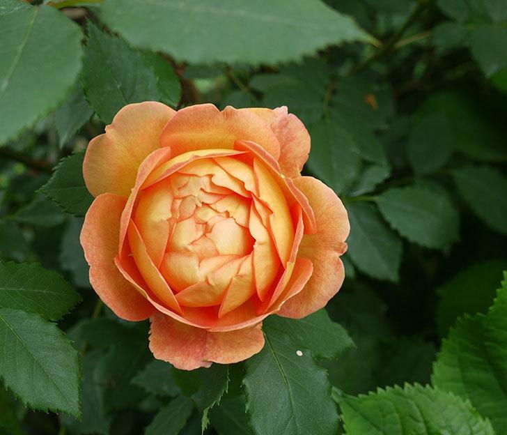 レディ・オブ・シャーロット(ツルバラ)の花が一気に増えた。2017年-8.jpg