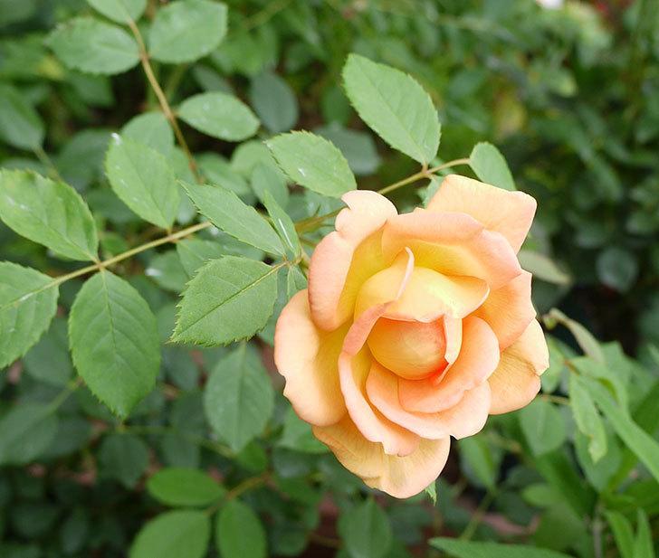 レディ・オブ・シャーロット(ツルバラ)の花が咲いた。2016年-2.jpg