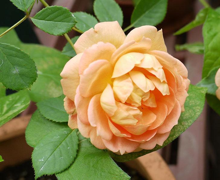 レディ・オブ・シャーロット(ツルバラ)の花が咲いた。2016年-3.jpg