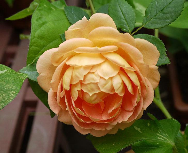 レディ・オブ・シャーロット(ツルバラ)の花が咲いた。2016年-4.jpg