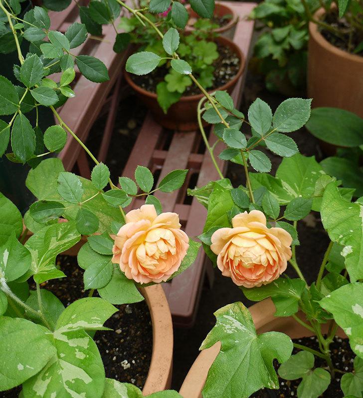 レディ・オブ・シャーロット(ツルバラ)の花が咲いた。2016年-5.jpg