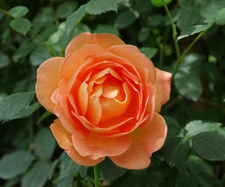 レディ・オブ・シャーロット(ツルバラ)の花が咲いた。2019年-1.jpg