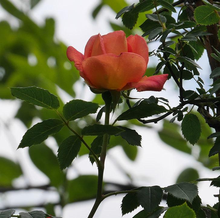 レディ・オブ・シャーロット(ツルバラ)の花が咲いた。2019年-10.jpg