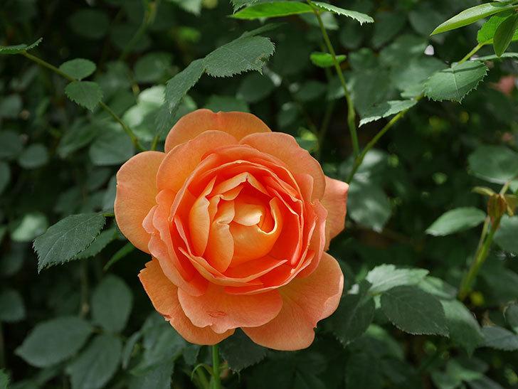 レディ・オブ・シャーロット(ツルバラ)の花が咲いた。2019年-2.jpg