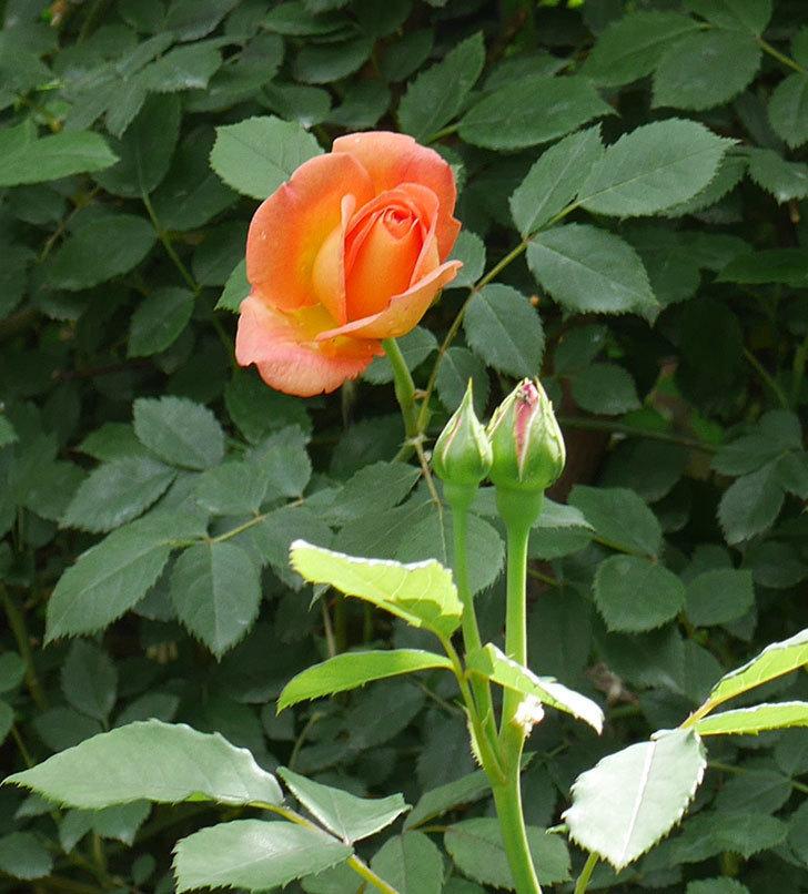 レディ・オブ・シャーロット(ツルバラ)の花が咲いた。2019年-4.jpg