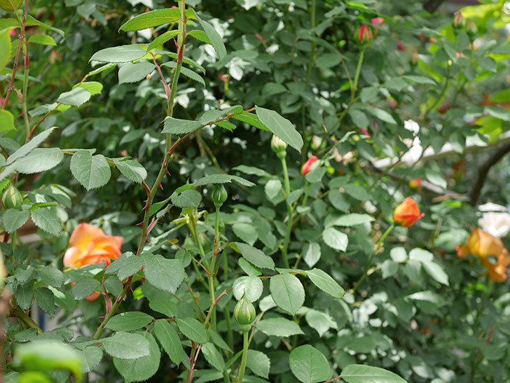 レディ・オブ・シャーロット(ツルバラ)の花が咲いた。2019年-6.jpg