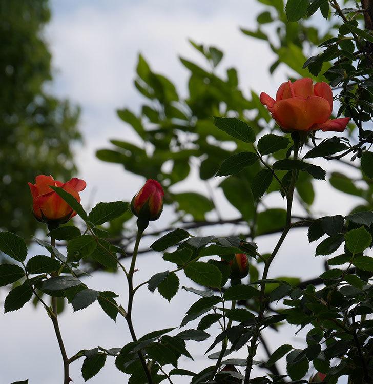 レディ・オブ・シャーロット(ツルバラ)の花が咲いた。2019年-8.jpg