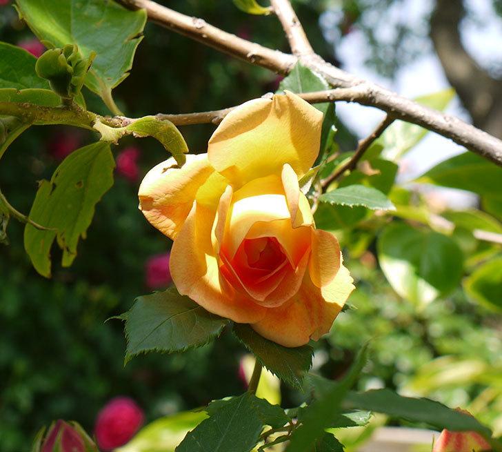レディ・オブ・シャーロット(ツルバラ)の花が咲きだした。2018年-1.jpg