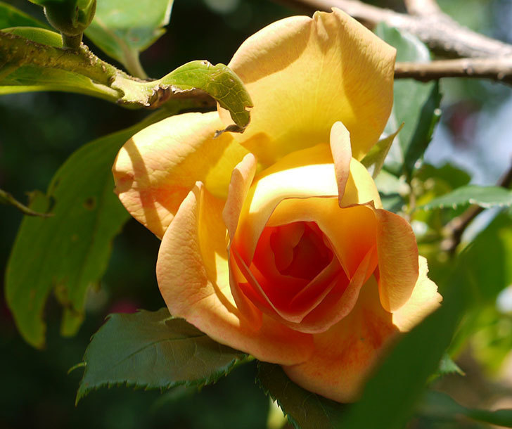 レディ・オブ・シャーロット(ツルバラ)の花が咲きだした。2018年-2.jpg