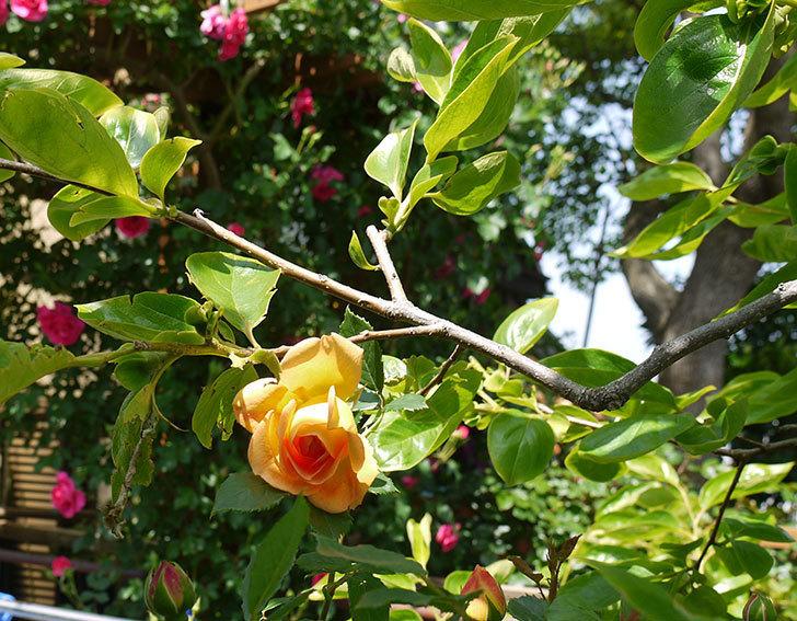 レディ・オブ・シャーロット(ツルバラ)の花が咲きだした。2018年-3.jpg
