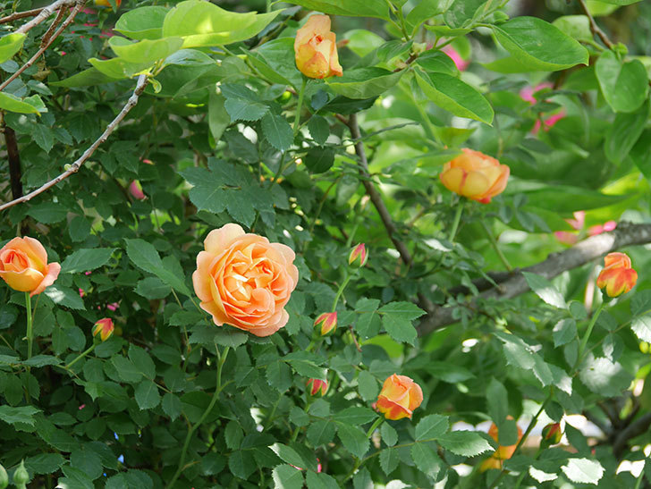 レディ・オブ・シャーロット(ツルバラ)の花が増えて来た。2018年-1.jpg