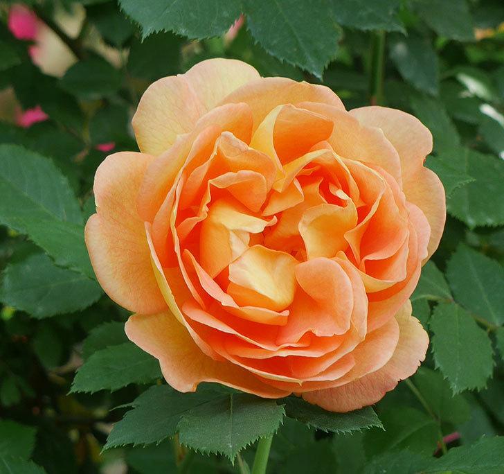 レディ・オブ・シャーロット(ツルバラ)の花が増えて来た。2018年-10.jpg