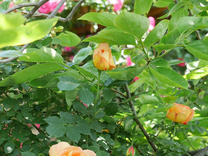 レディ・オブ・シャーロット(ツルバラ)の花が増えて来た。2018年-11.jpg