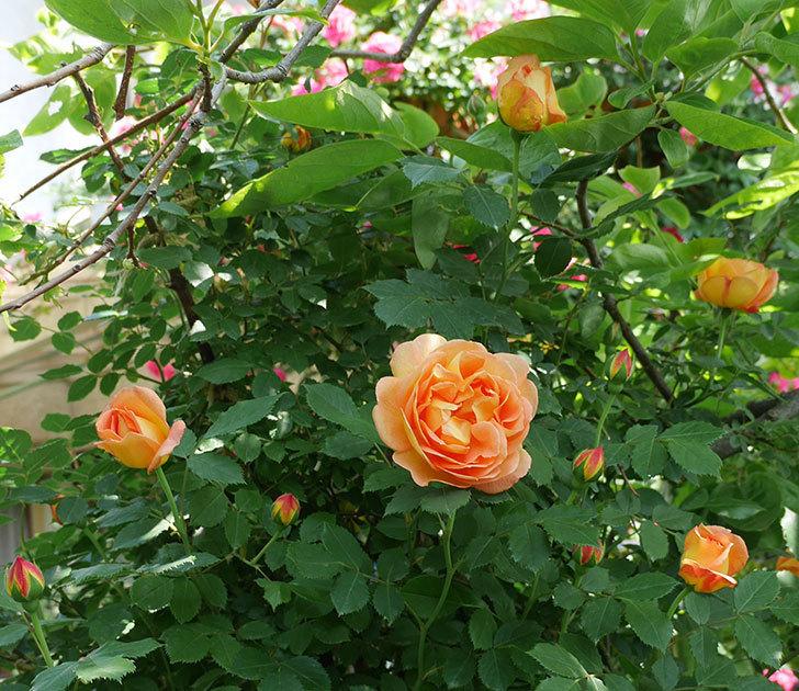 レディ・オブ・シャーロット(ツルバラ)の花が増えて来た。2018年-12.jpg