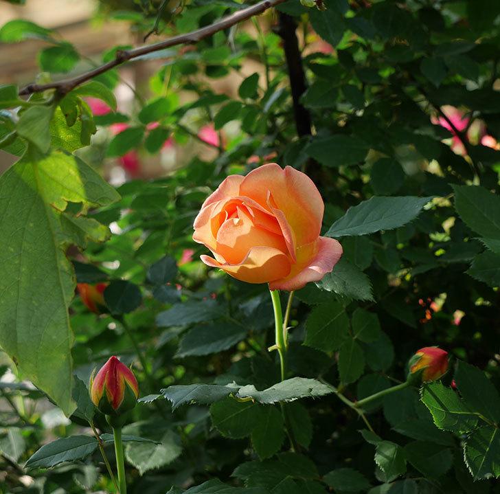 レディ・オブ・シャーロット(ツルバラ)の花が増えて来た。2018年-13.jpg