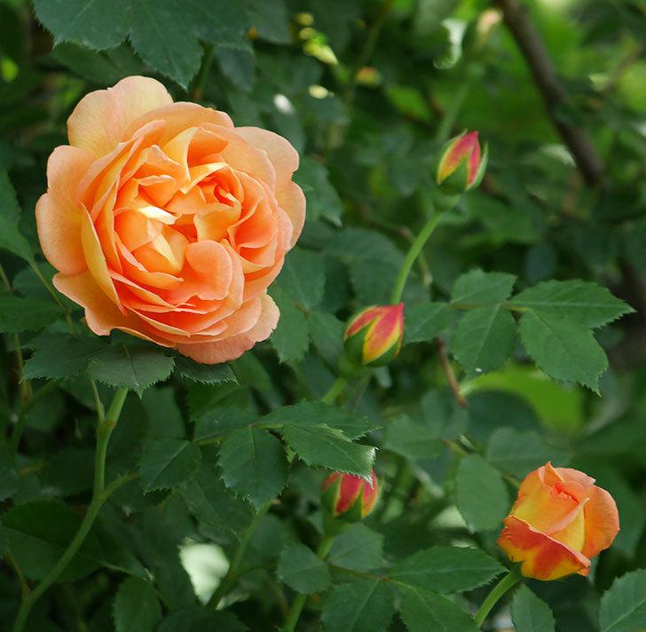 レディ・オブ・シャーロット(ツルバラ)の花が増えて来た。2018年-2.jpg