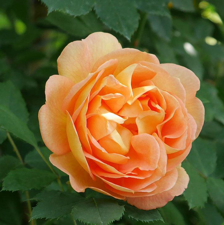 レディ・オブ・シャーロット(ツルバラ)の花が増えて来た。2018年-3.jpg