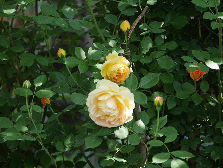 レディ・オブ・シャーロット(ツルバラ)の花が増えて来た。2018年-6.jpg