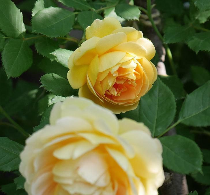 レディ・オブ・シャーロット(ツルバラ)の花が増えて来た。2018年-7.jpg