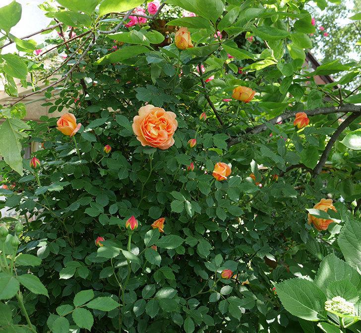レディ・オブ・シャーロット(ツルバラ)の花が増えて来た。2018年-8.jpg