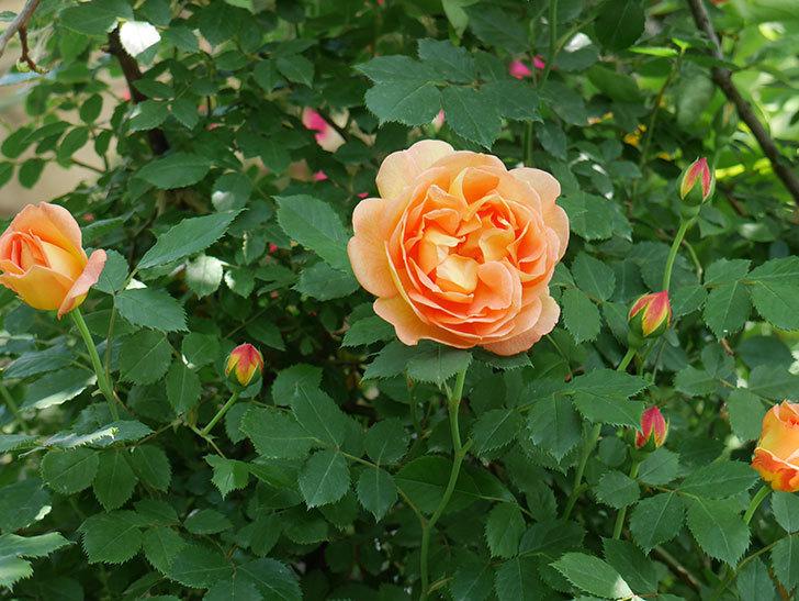 レディ・オブ・シャーロット(ツルバラ)の花が増えて来た。2018年-9.jpg