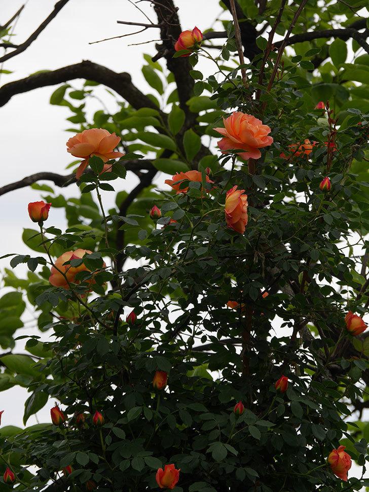 レディ・オブ・シャーロット(ツルバラ)の花が増えて来た。2019年-1.jpg