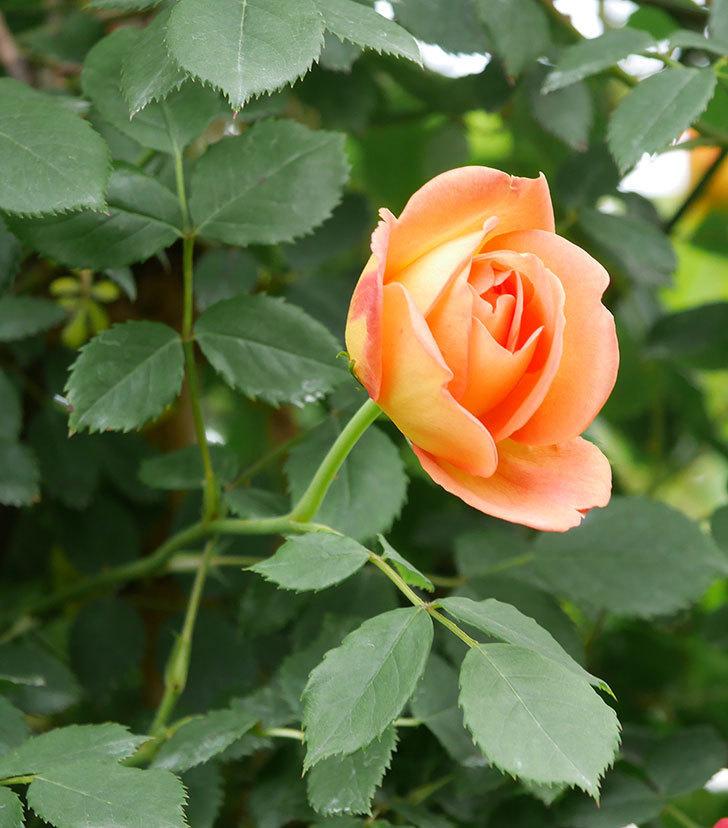レディ・オブ・シャーロット(ツルバラ)の花が増えて来た。2019年-10.jpg