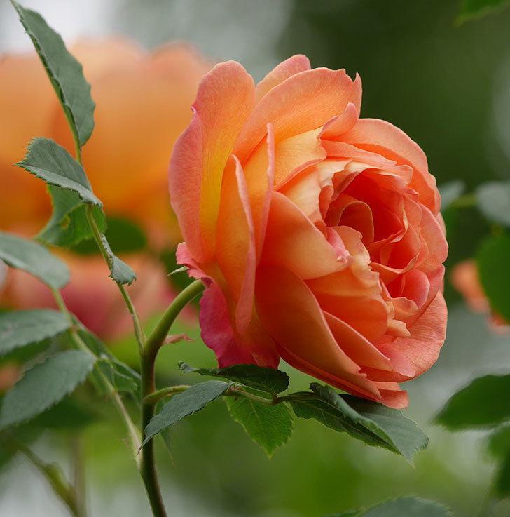 レディ・オブ・シャーロット(ツルバラ)の花が増えて来た。2019年-11.jpg