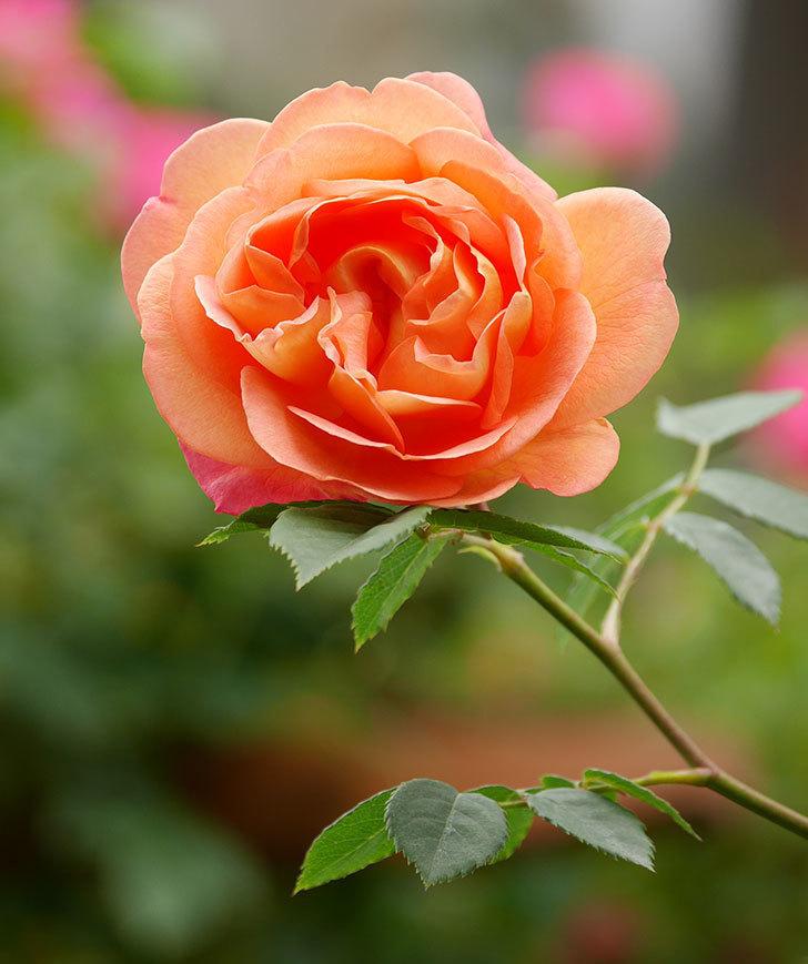 レディ・オブ・シャーロット(ツルバラ)の花が増えて来た。2019年-13.jpg