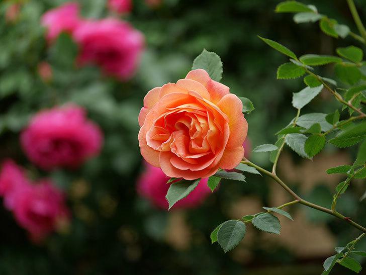 レディ・オブ・シャーロット(ツルバラ)の花が増えて来た。2019年-15.jpg