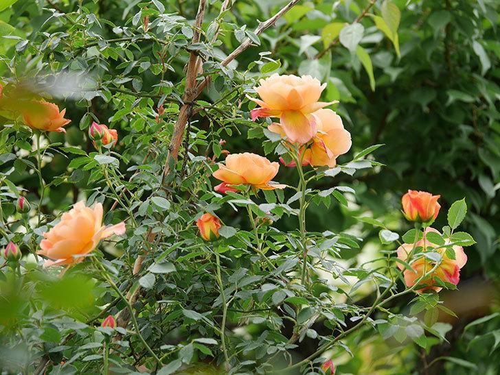 レディ・オブ・シャーロット(ツルバラ)の花が増えて来た。2019年-16.jpg