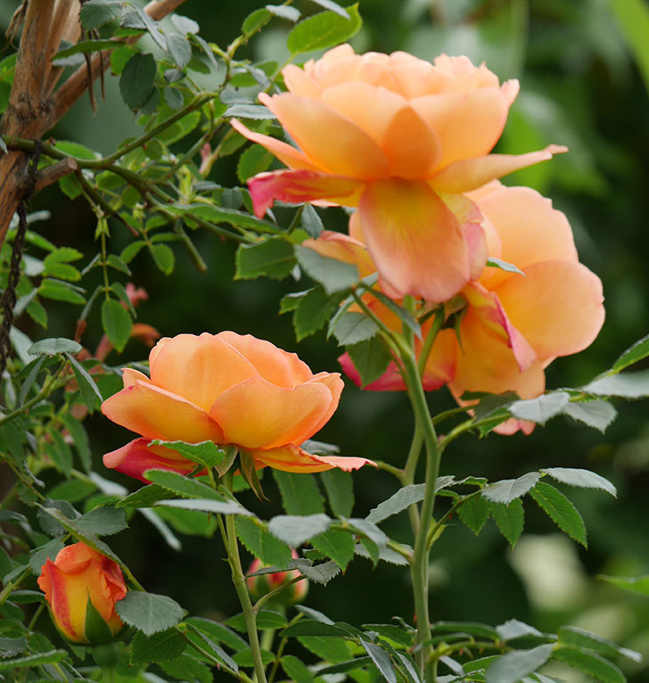 レディ・オブ・シャーロット(ツルバラ)の花が増えて来た。2019年-17.jpg