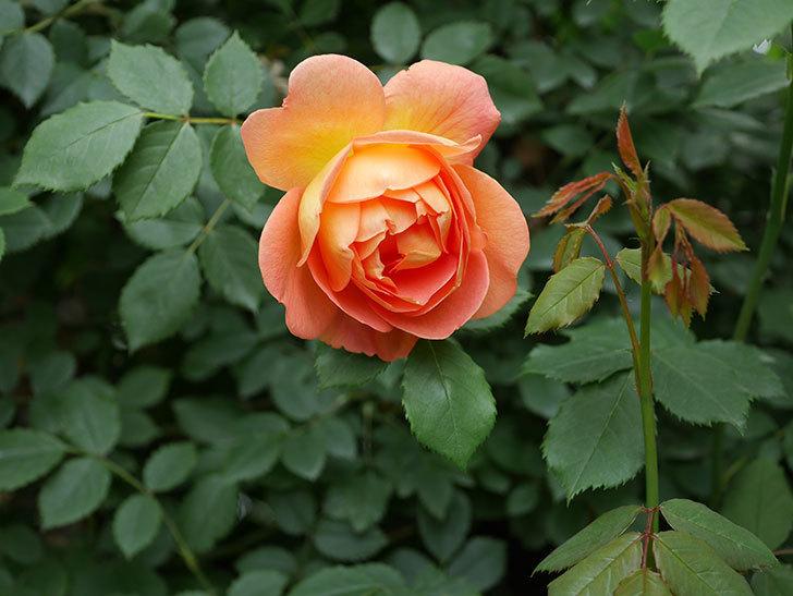 レディ・オブ・シャーロット(ツルバラ)の花が増えて来た。2019年-18.jpg
