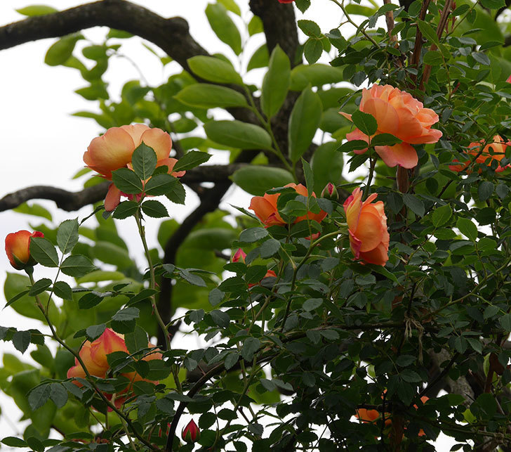 レディ・オブ・シャーロット(ツルバラ)の花が増えて来た。2019年-2.jpg
