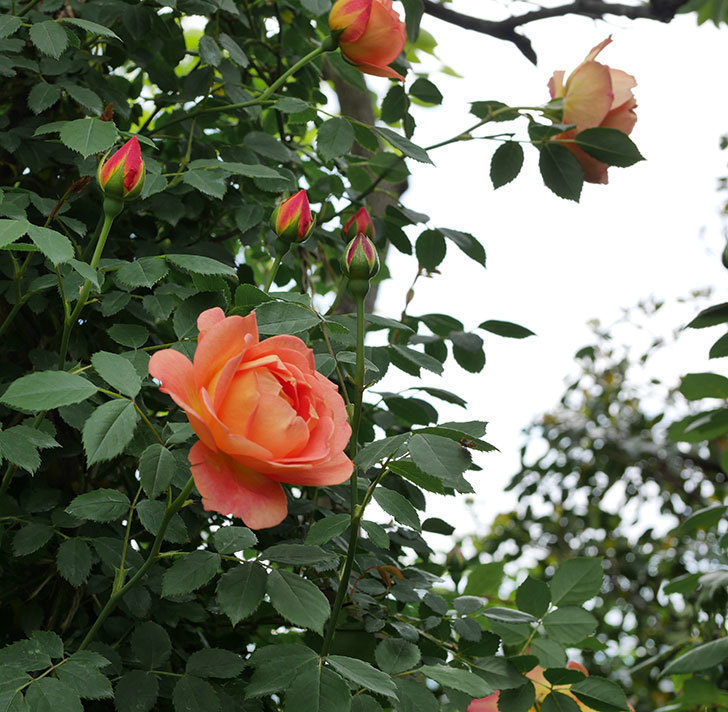 レディ・オブ・シャーロット(ツルバラ)の花が増えて来た。2019年-20.jpg