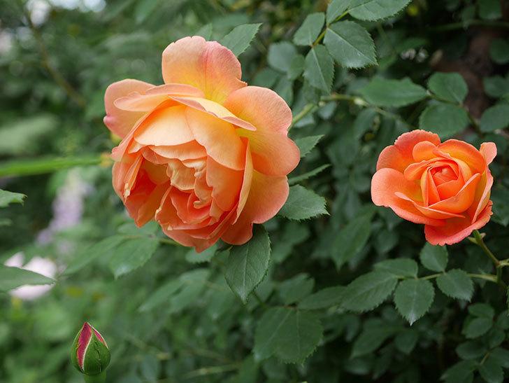 レディ・オブ・シャーロット(ツルバラ)の花が増えて来た。2019年-21.jpg