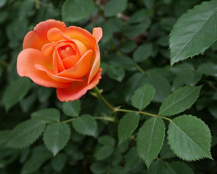 レディ・オブ・シャーロット(ツルバラ)の花が増えて来た。2019年-22.jpg